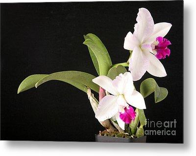 Orchid In Bloom Metal Print by Ted Kinsman