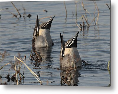 Orthern Pintails Tail Up Dabbling Metal Print by George Grall