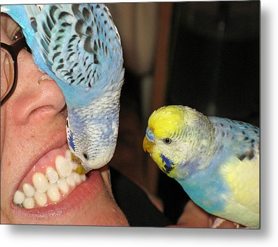 Parakeet Dentists Metal Print by Kimberly Mackowski