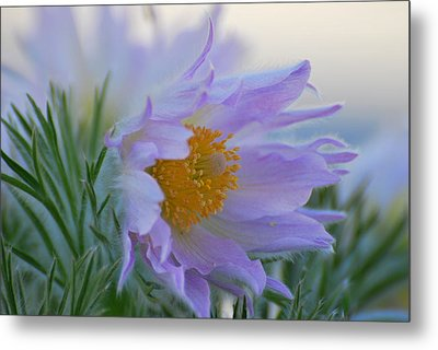 Pasque Flower In The Morning Metal Print by Anne Gordon