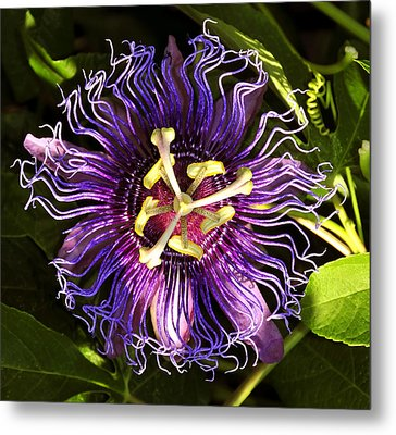 Passionflower Metal Print by David Lee Thompson