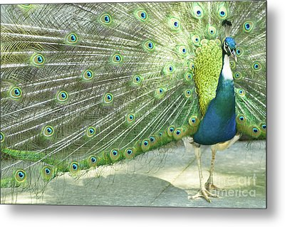 Peacock Metal Print by Pit Hermann