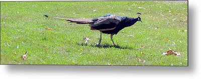 Metal Print featuring the photograph Peacock Striding by Bonnie Muir