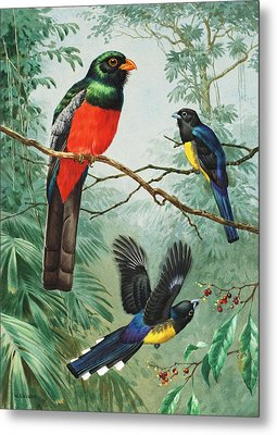 Perched And Flying Trogons Are Seen Metal Print by Walter A. Weber