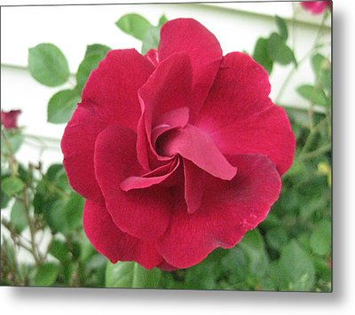 Perfect Red Rose Metal Print by Judy Via-Wolff