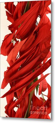 Peripheral Streak Image Of A Poinsettia Metal Print by Ted Kinsman