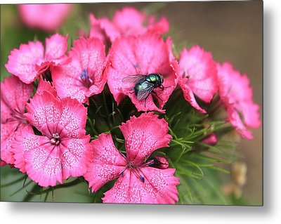 Phlox And Fly Metal Print by Scott Hovind