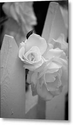 Picket Rose Metal Print by Peter Tellone