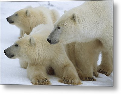 Polar Bear And Two Large Cubs Sniffing Metal Print by Norbert Rosing