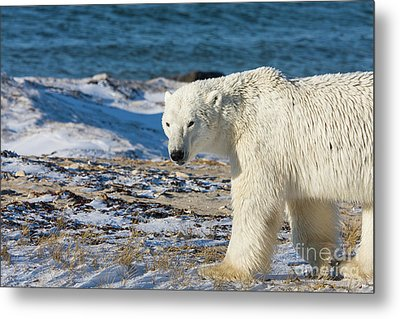 Polar Bear Metal Print by Buchachon Petthanya