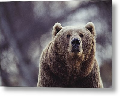 Portrait Of A Kodiak Brown Bear Metal Print by Joel Sartore