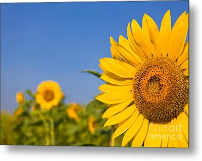 Portrait Of A Sunflower In The Field  Metal Print