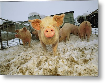 Portrait Of A Young Pig In A Snowy Pen Metal Print by Joel Sartore
