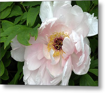 Metal Print featuring the photograph Pretty Peony by Kimberly Mackowski