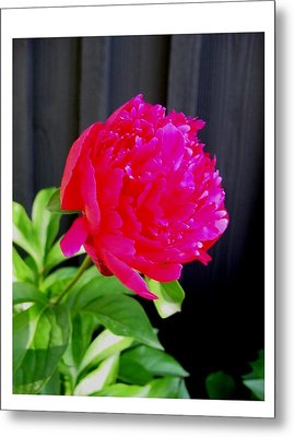Metal Print featuring the photograph Proud And Radiant by Frank Wickham