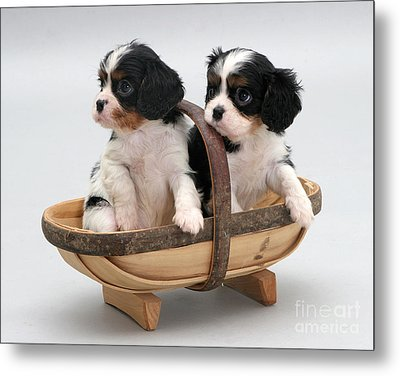 Puppies In A Trug Metal Print by Jane Burton