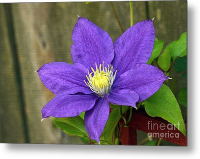 Metal Print featuring the photograph Purple Clematis by Denise Pohl
