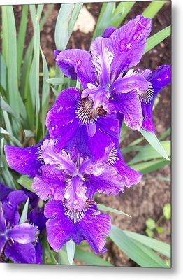 Purple Iris With Water Droplet Metal Print