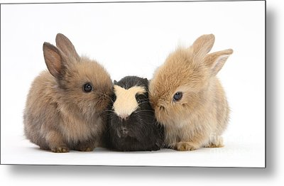 Rabbits With Guinea Pig Metal Print