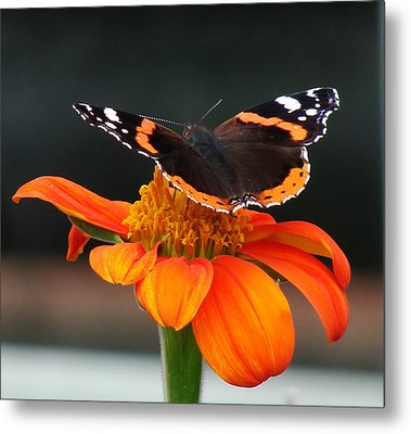 Red Admiral Metal Print by Nicola Butt