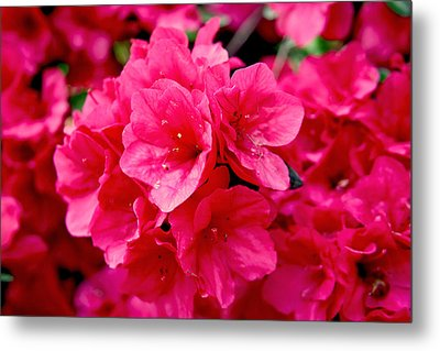 Red Azalea Metal Print