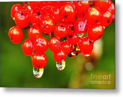 Red Berries And Raindrops Metal Print by Thomas R Fletcher