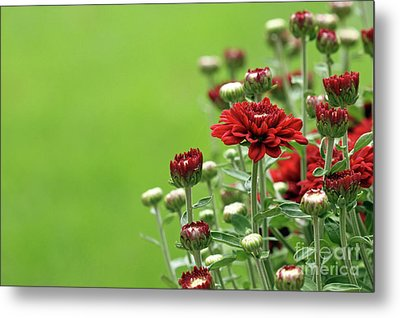 Metal Print featuring the photograph Red Chrysanthemum by Denise Pohl