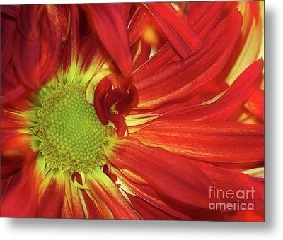 Red Daisy Too Metal Print by Sabrina L Ryan