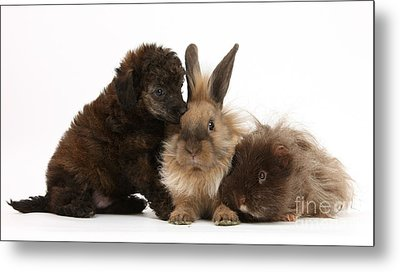 Red Merle Toy Poodle Pup, Guinea Pig Metal Print by Mark Taylor