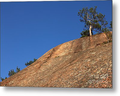 Red Pine Tree Metal Print by Ted Kinsman
