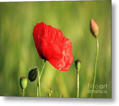 Red Poppy In Field Metal Print by Pixel Chimp