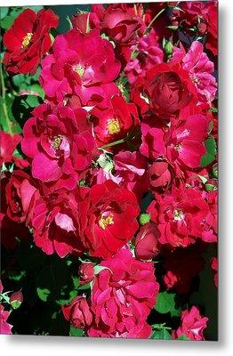 Red Rose Bush Metal Print