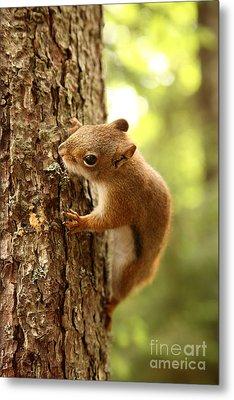 Red Squirrel Metal Print by Ted Kinsman