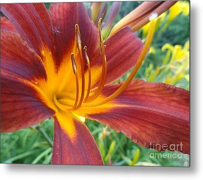 Ripe Blood Orange Metal Print by Trish Hale