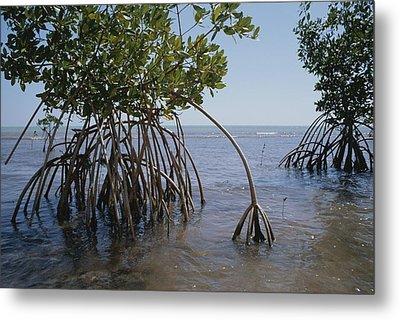 Root Legs Of Red Mangroves Extend Metal Print by Medford Taylor