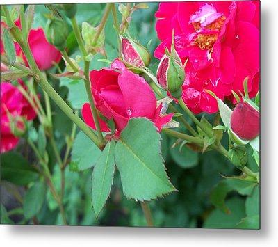 Rose Bud With Water Droplet Metal Print