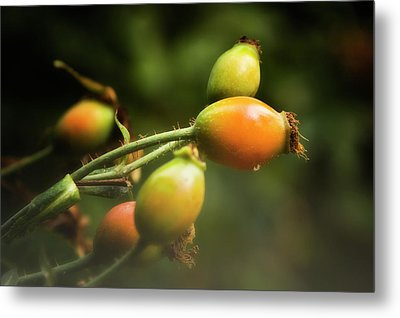 Metal Print featuring the photograph Rose Hips by Albert Seger
