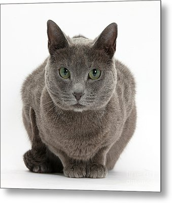 Russian Blue Cat Metal Print by Mark Taylor