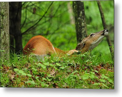 Metal Print featuring the photograph Scratching An Itch by Mike Martin