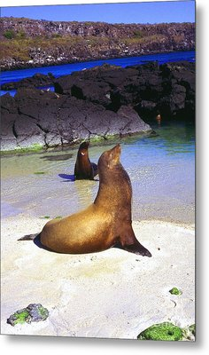 Sea Lions On Genovesa Island Metal Print by Thomas R Fletcher