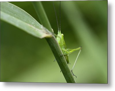 Secretive Katydid Metal Print by Brian Magnier