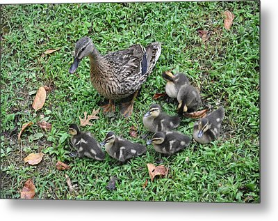 Seven Little Ducklings Metal Print by Jan Amiss Photography