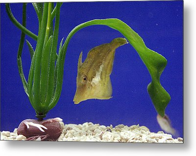 Sharpnose Puffer Fish Metal Print by Chris Martin-bahr