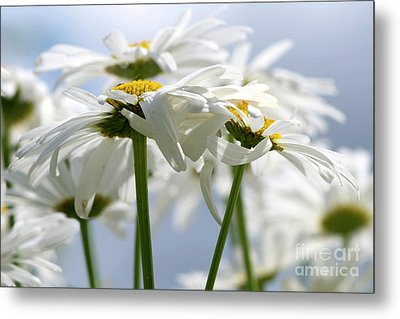 Shasta Daisies Dry Brushed Metal Print by Sharon Talson