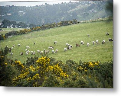 Sheep Graze On The Otago Peninsula Metal Print by Bill Hatcher