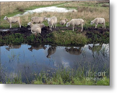 Sheep Metal Print by Vilas Malankar