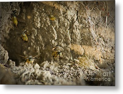 Shift Change Yellow-jacket Wasps Flying Out To Forage As Others Return To The Nest Metal Print by Andy Smy