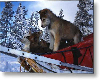 Siberian Husky Puppies Play On A Snow Metal Print by Nick Norman