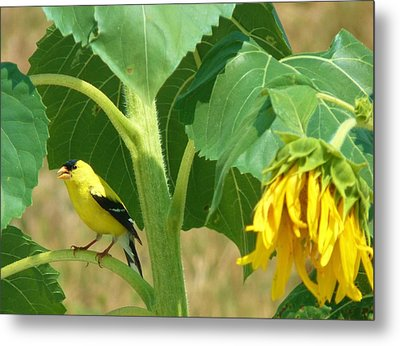 Sing For Me Metal Print by Jeanette Oberholtzer