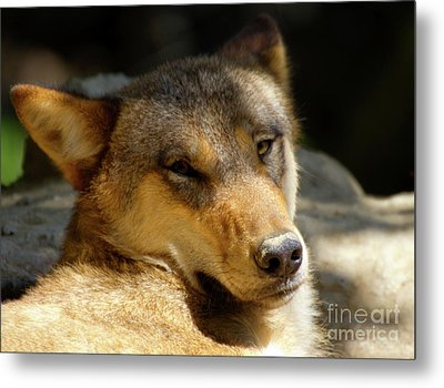 Metal Print featuring the photograph Sleepy Wolf by Charles Lupica